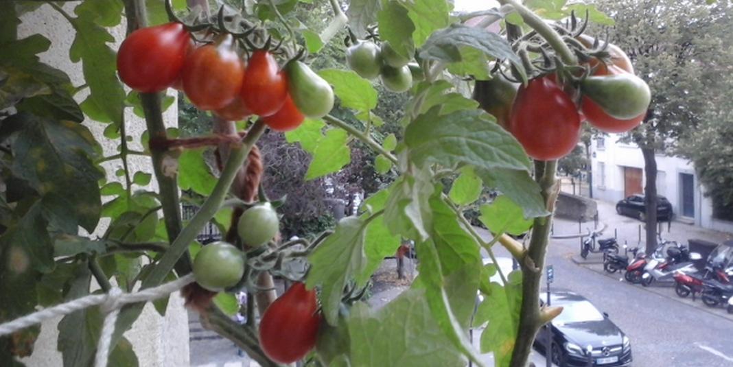 Des tomates sur la fenêtre, c'est possible !