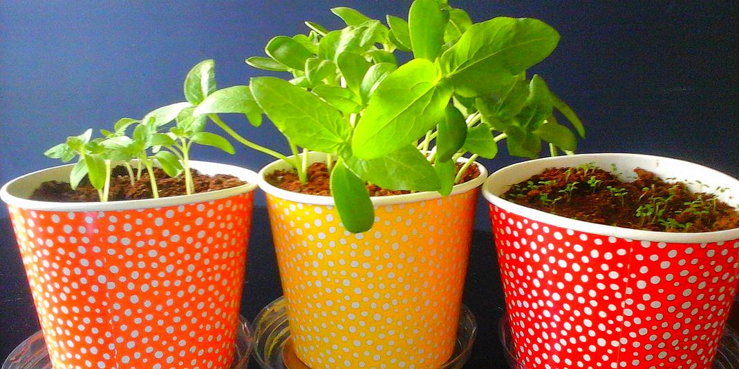 Semis de tomates, fraises et tournesols en appartement