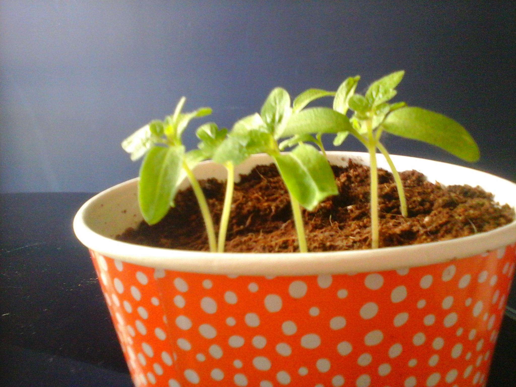 Semis de tomates fraises et tournesols en appartement le cri du z bre - Comment cueillir des fraises ...