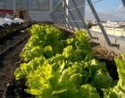 Culticime, du maraîchage écologique et solidaire à Aubervilliers